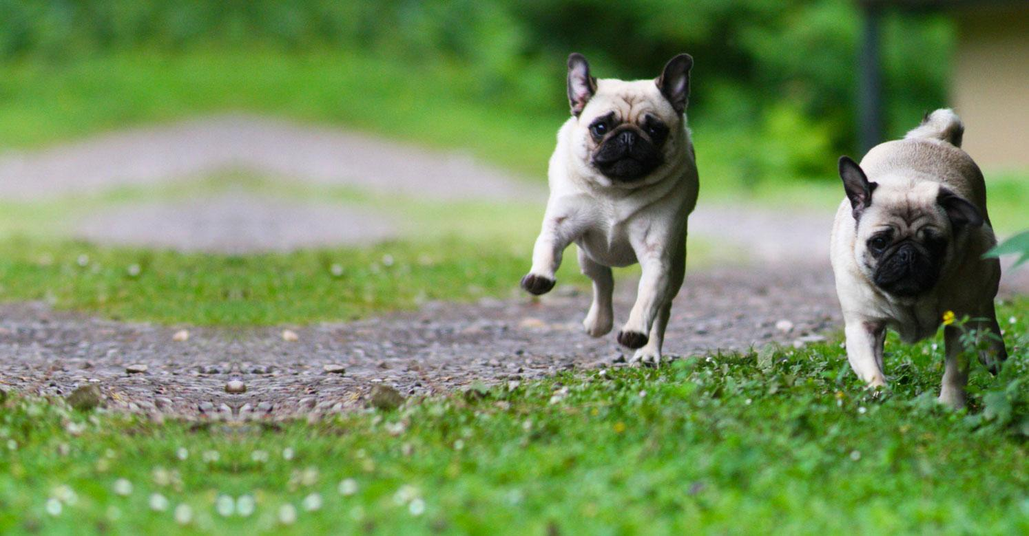 Two pugs running down a path