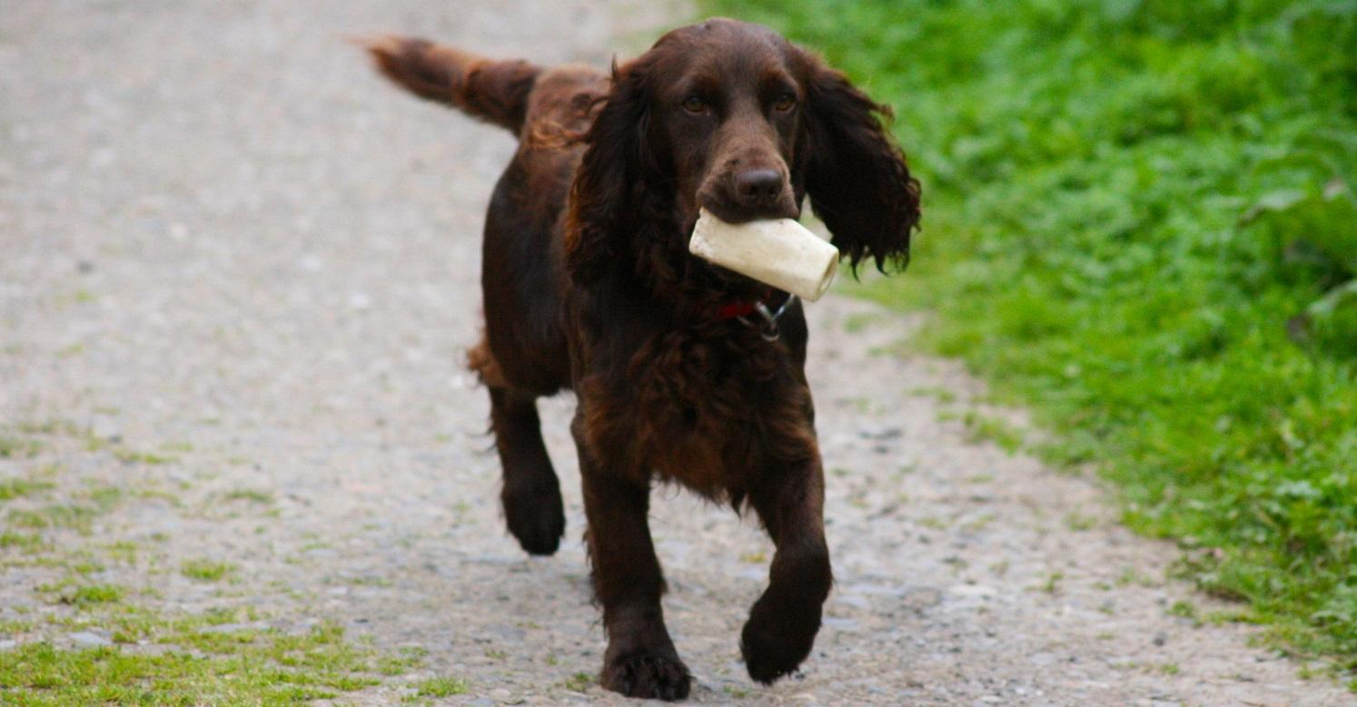 Cocker spaniel with bone in mouth