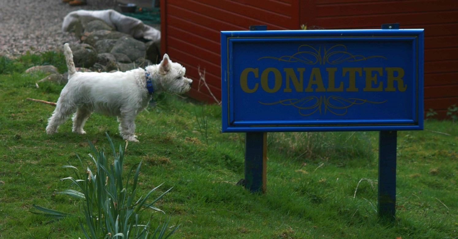 Westie looking at our sign