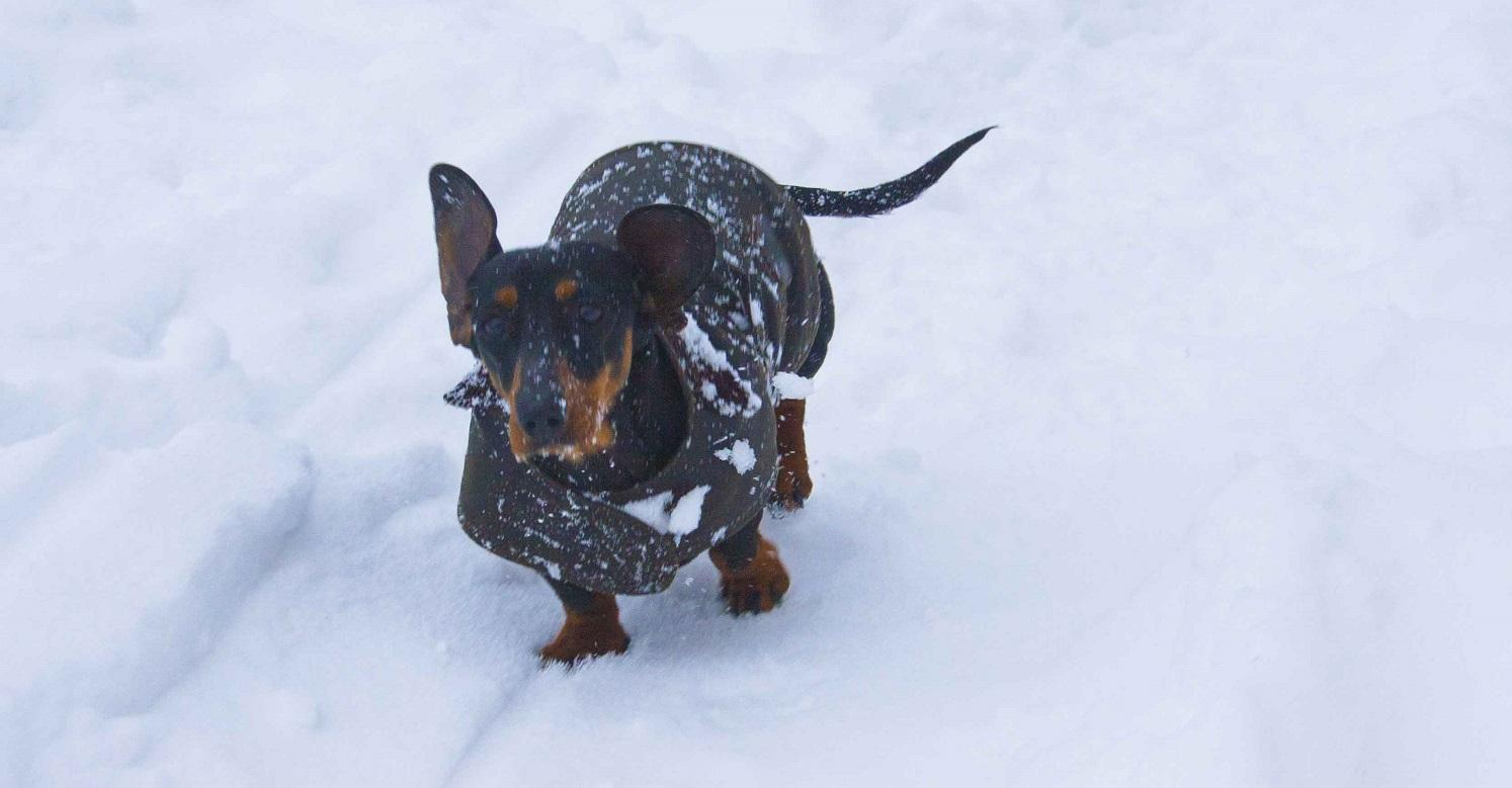 Sausage dog wearing her winter coat